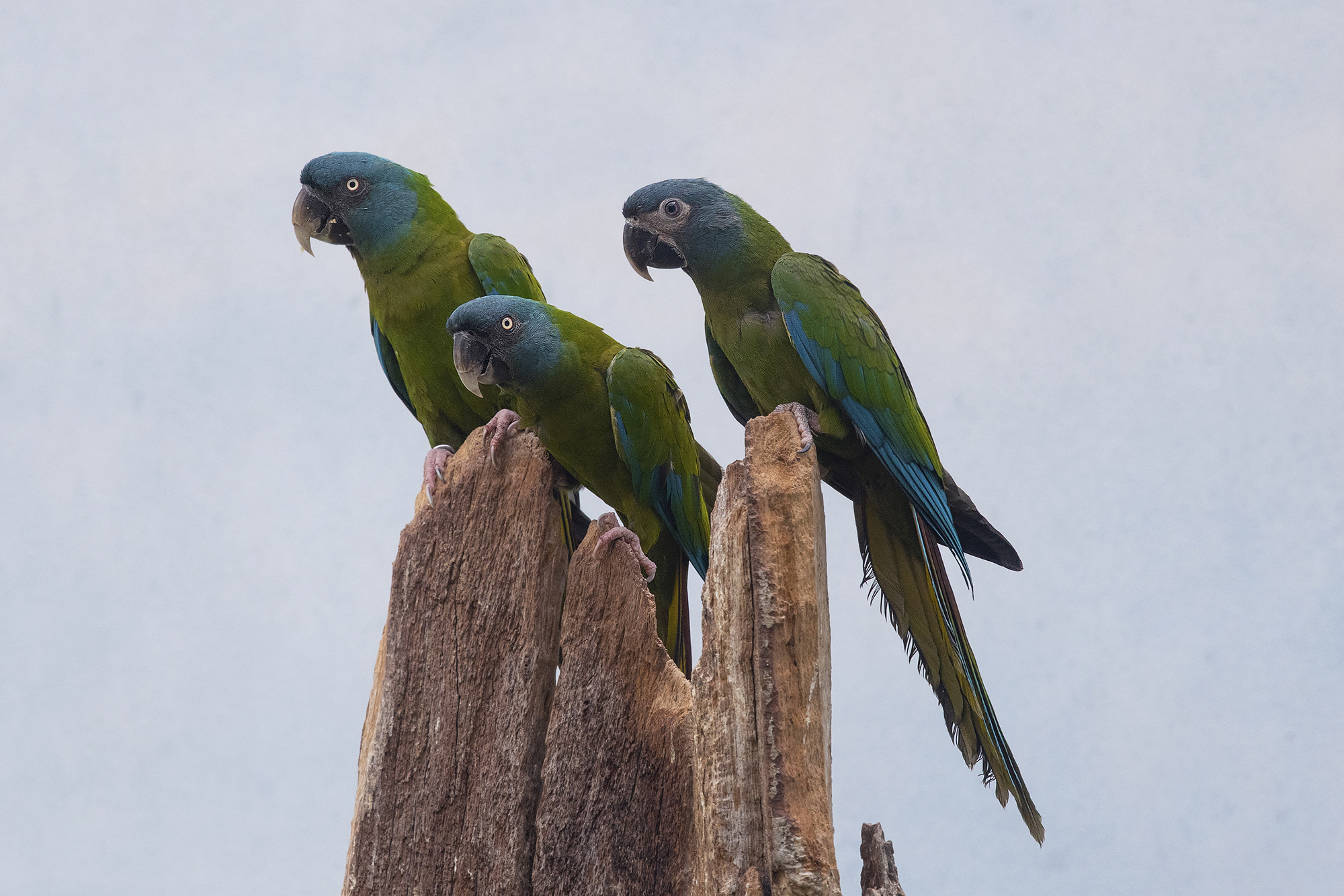 Blue-headed Macaw – A Mini Macaw