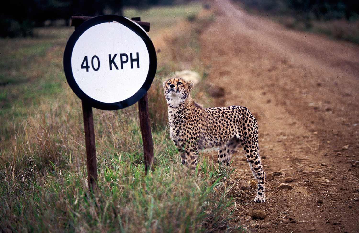 The Cheetah's Speed Limit