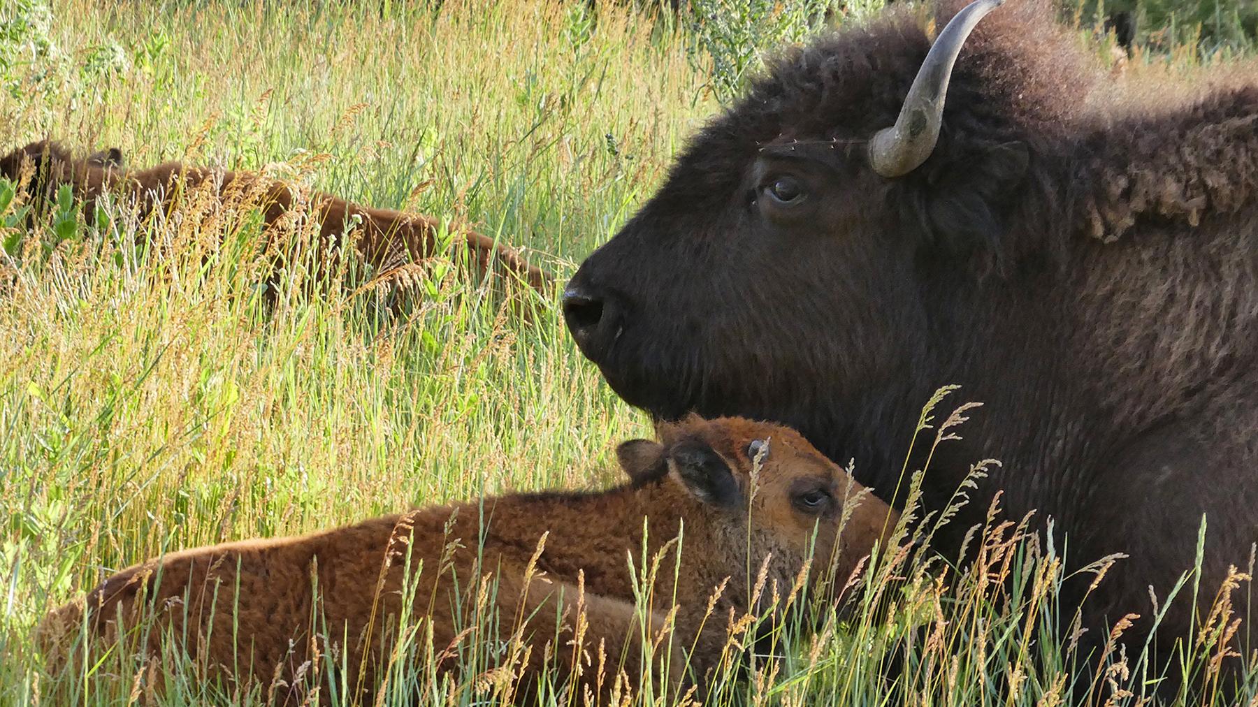 Mitákuyepi, Tatanka Oyate – My Relatives, the Buffalo Nation