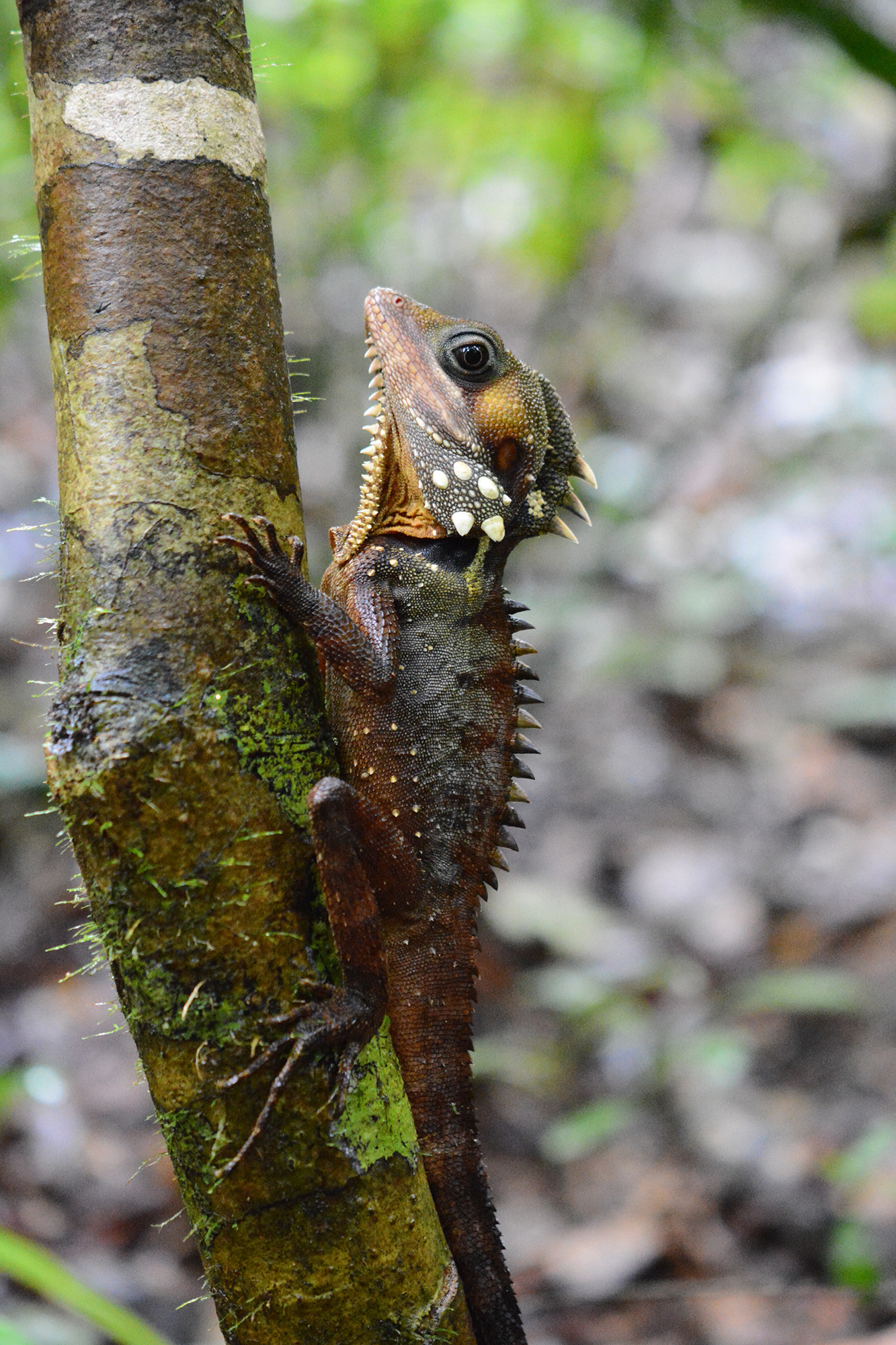 Dragons of the Daintree