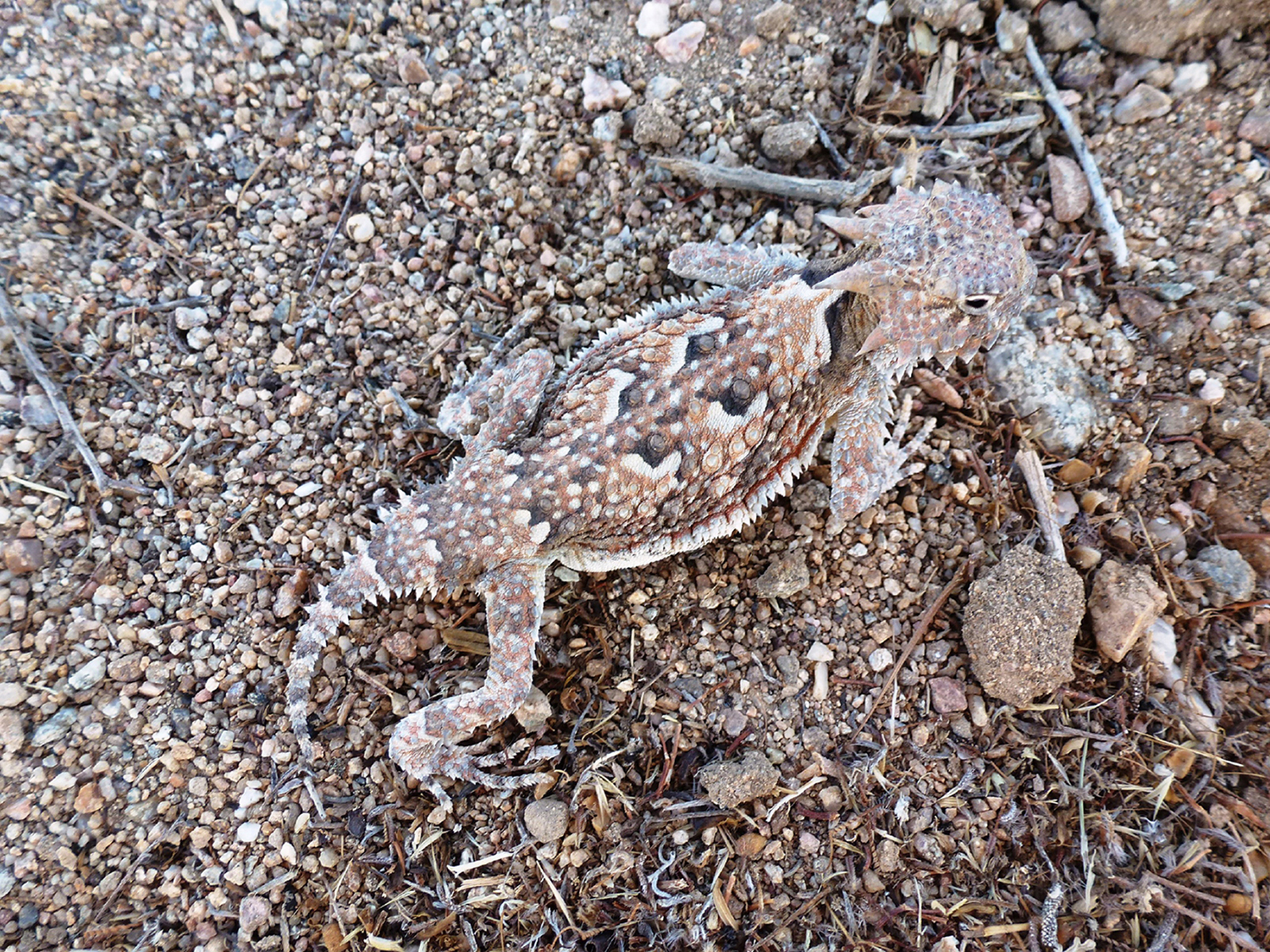 The Fantasic Horny Toad