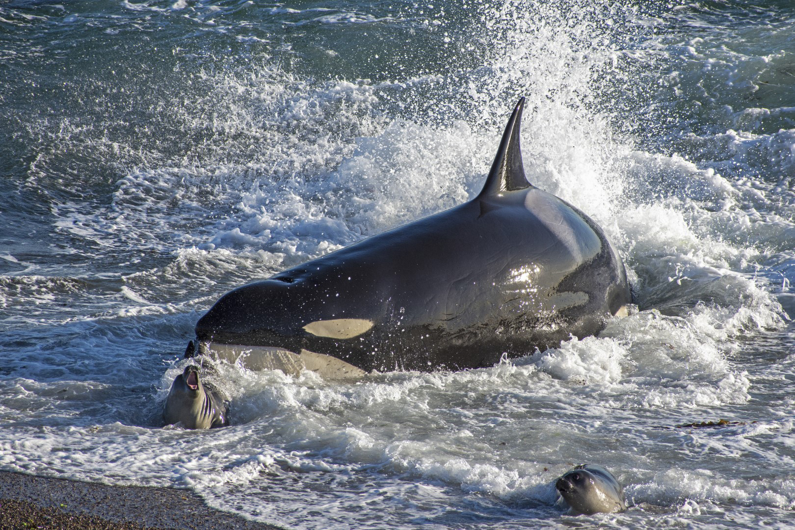 Killer Whale Legacy