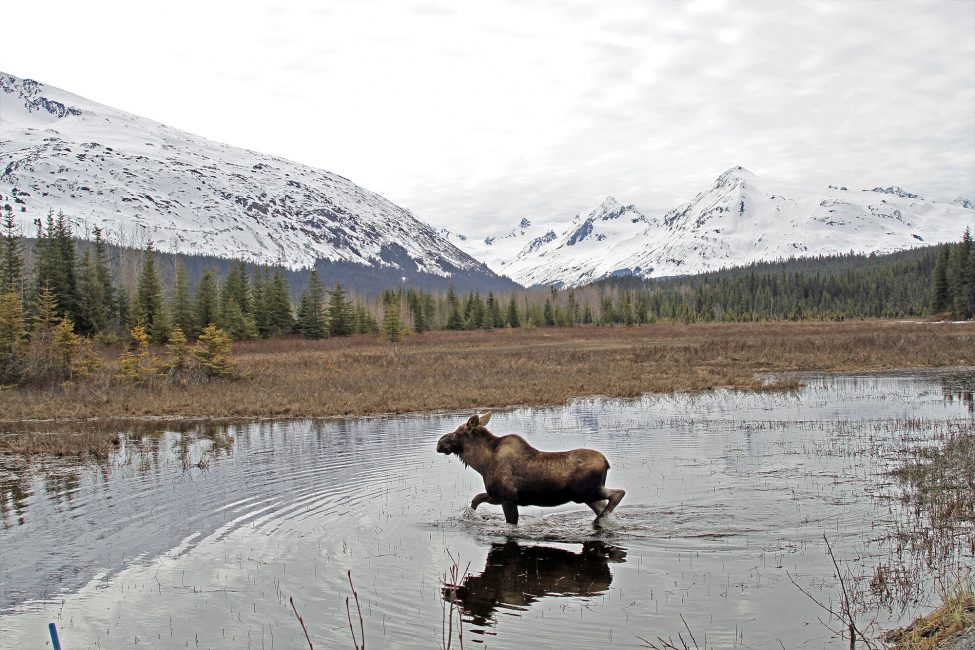 Moose in an Alaskan Pond