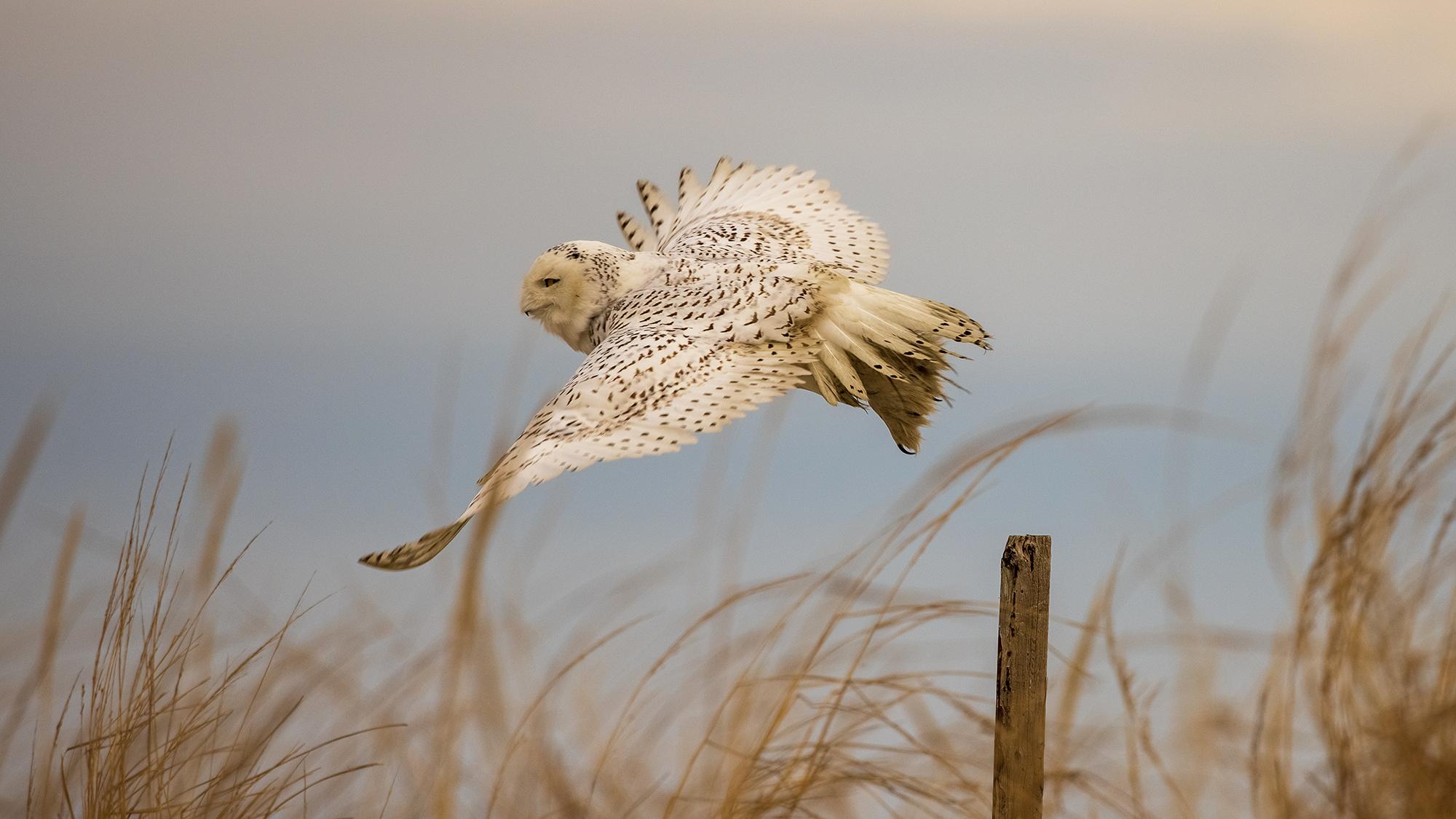 Snowy Owl: Dreams of Flight