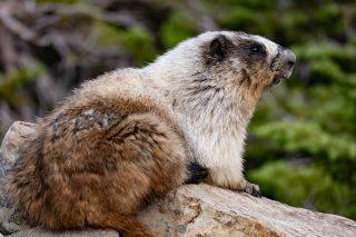 Marmot Mountain Guide