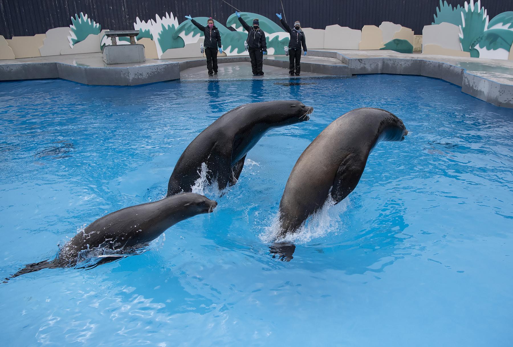 California Sea Lion Triple Bow