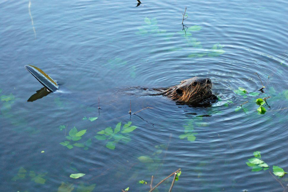 The Elusive Beaver