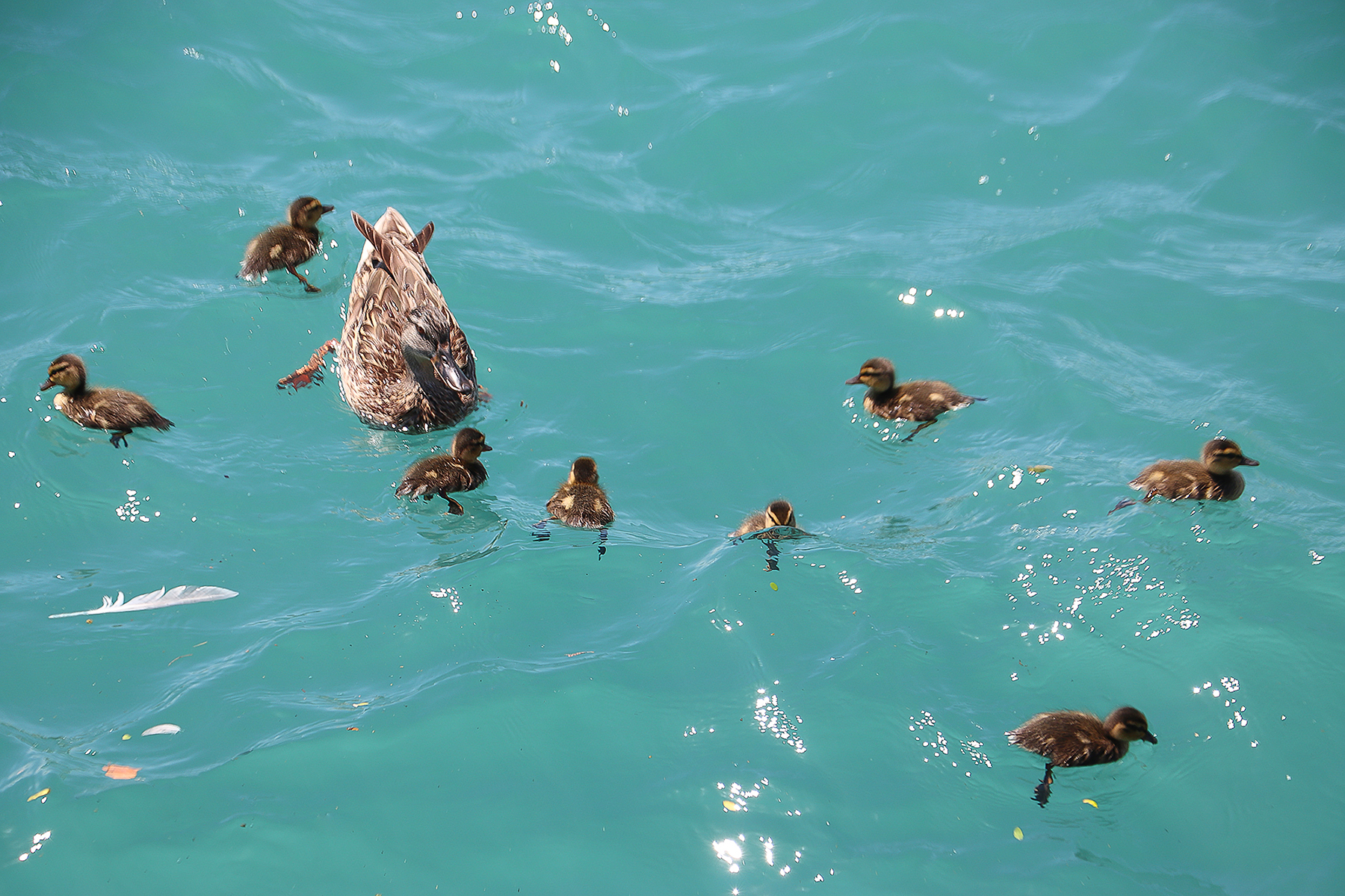 Ducklings by the Lake