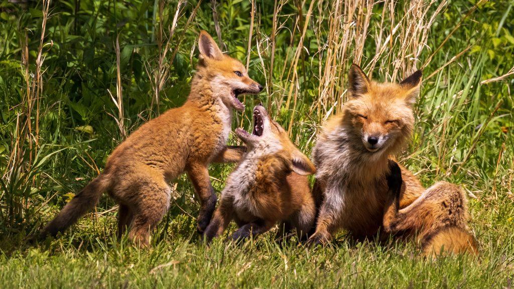 Foxes in Focus, Part 2