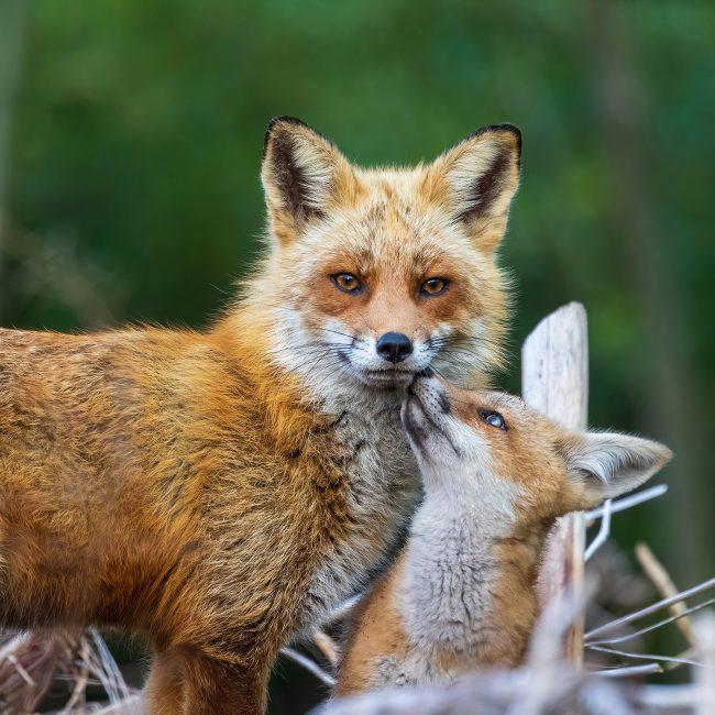 Foxes in Focus, Part 1