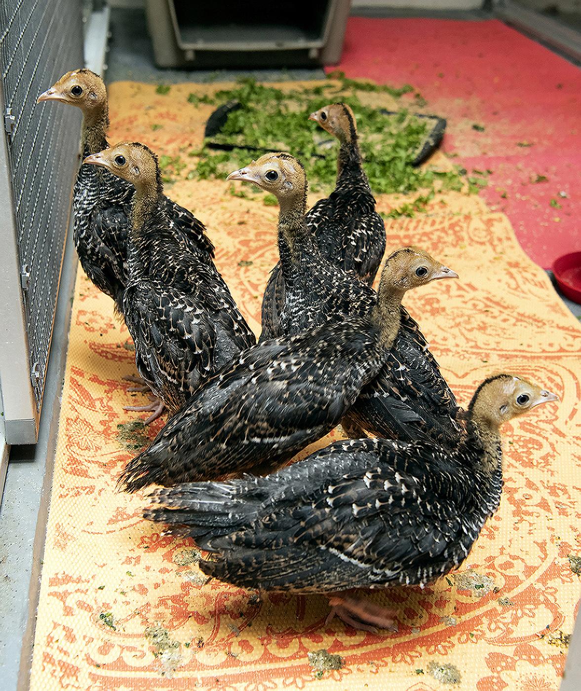A Peek Inside the Turkey Nursery